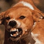 Hund med rabies