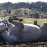 Vær varsom rundt rullende hest.